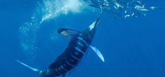 Striped marlin fisheries in New Zealand