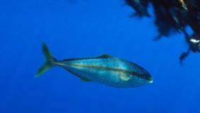 Catch-at-age of yellowtail kingfish 2010