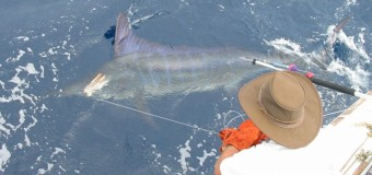 Satellite tagging striped marlin