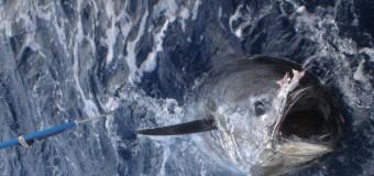 Satellite tracking of Bluefin Tuna