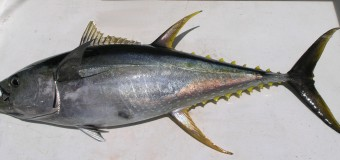 The Mercurial Yellowfin Tuna