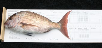 Size and Condition of Snapper Caught by Amatuer Fisheries in SNA1